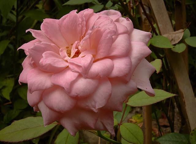 rose,effort,wrong,right