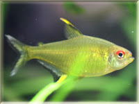 Lemon Tetra Fish Pictures