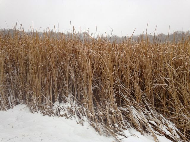 snow-covered marsh