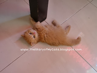 kucing cute red tabby