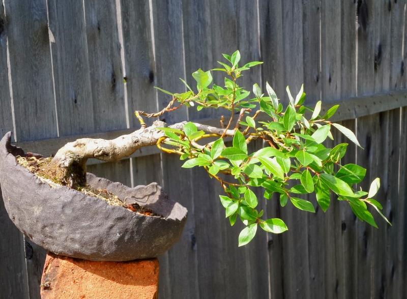 Vide In Hal : Annas bonsiarium kan man använda vide som bonsai