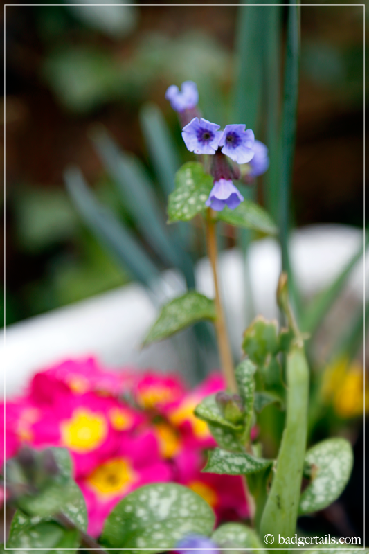 Pulmonaria flowers and pink Primrose