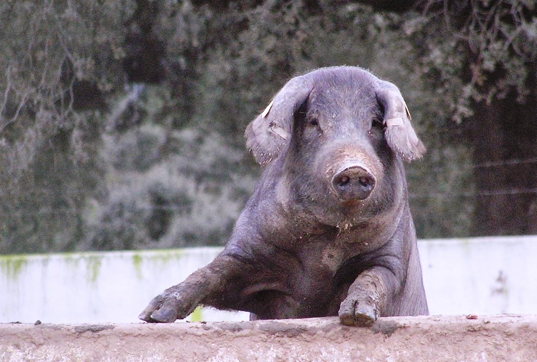 este cerdo no es un lean hog