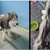 Đắng lòng chú chó Alaska bị chủ bỏ đói
