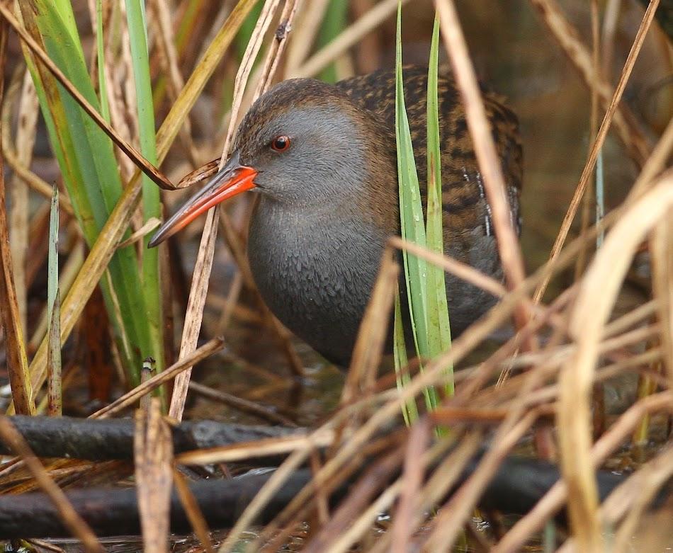 Breckland Birder