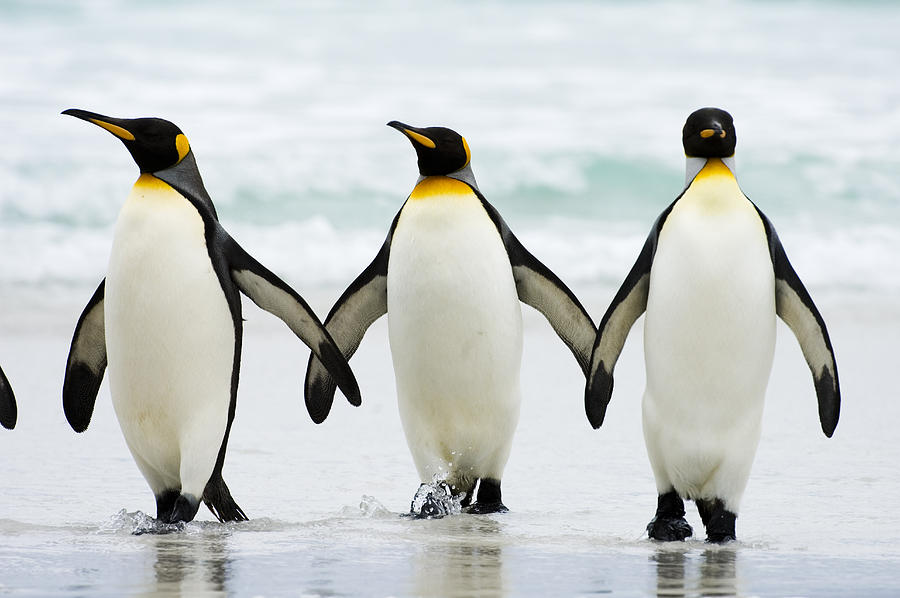 King Penguin | Life of Sea
