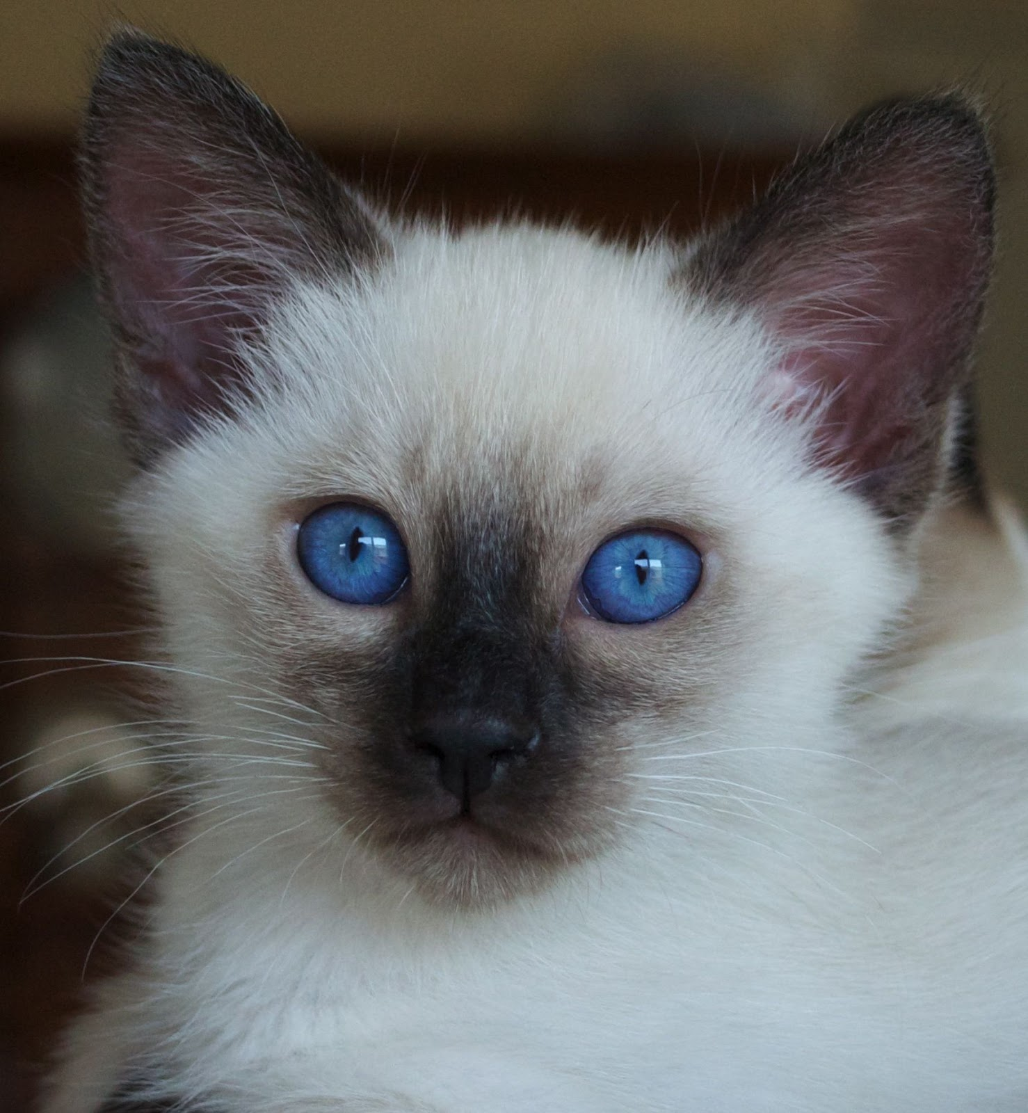 Sorry sold) Seal Point Siamese/Balinese kitten | Baliwest