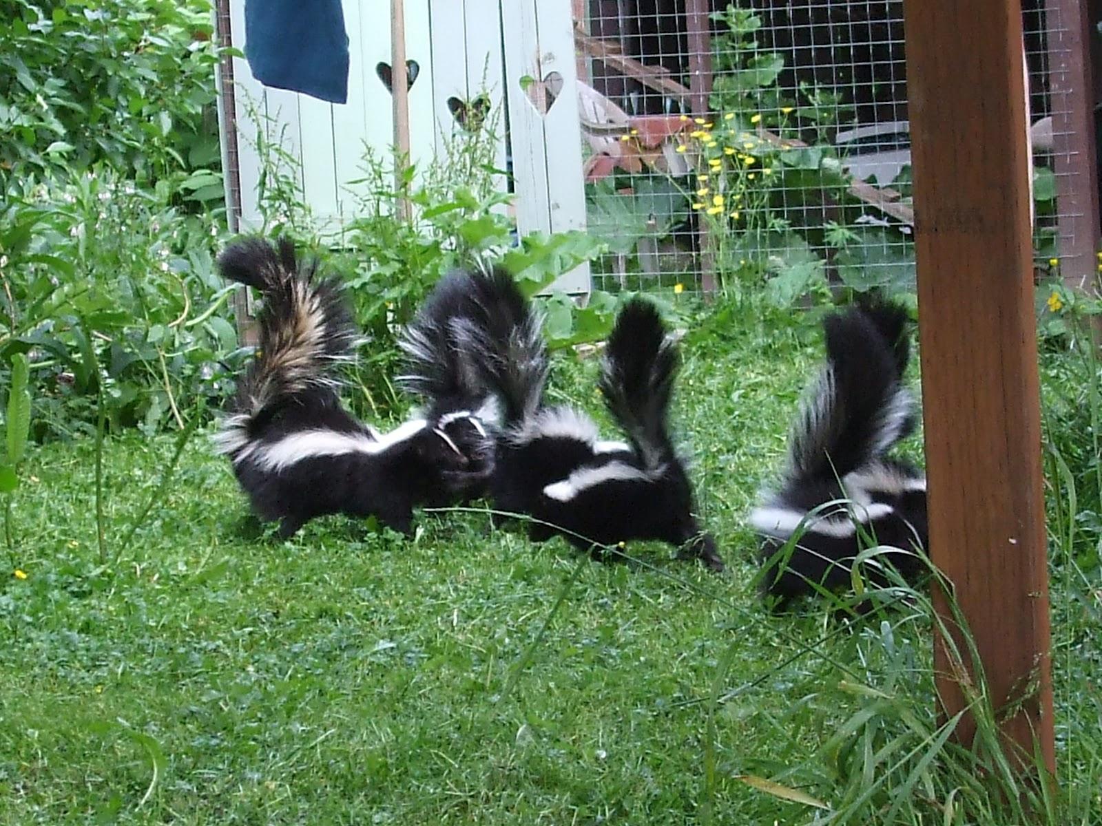 pearlsnponderings adios skunk amigos