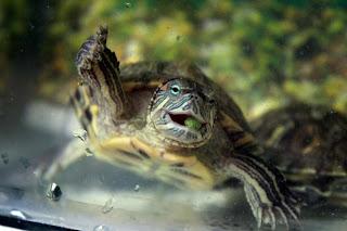 kura-kuranya angki