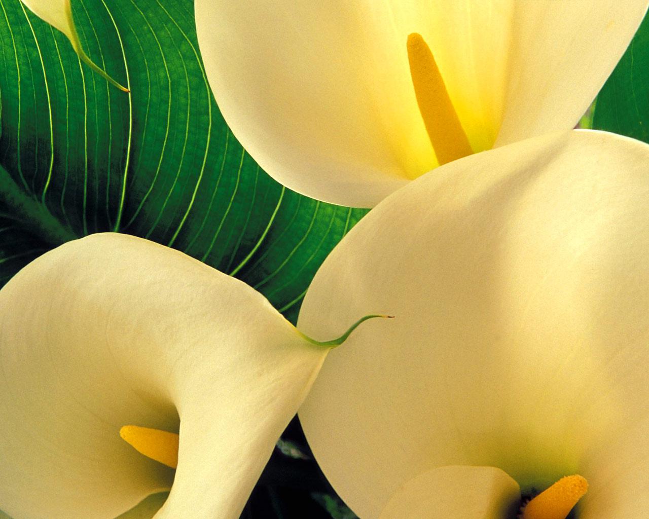 http://2.bp.blogspot.com/-N1wYHyk_AZA/TePe-_SNo-I/AAAAAAAAAC4/8LdhKshagH4/s1600/Yellow+Calla+Lilies-Flowers-Wallpapers.jpg