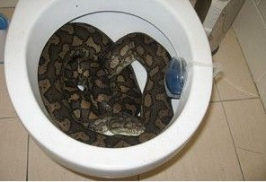 Woman Finds Live Python In Her Toilet