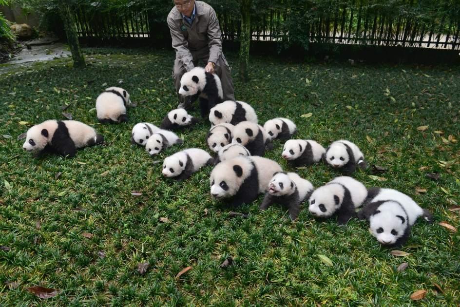 Los Osos Panda