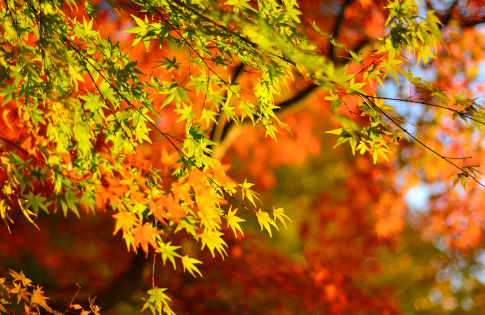 夕方の紅葉の写真