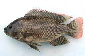 Budidaya Ikan Mujair
