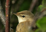 Paddyfield Warbler (click photo)