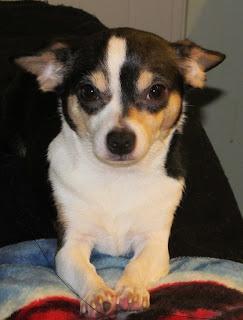 Scout the Chihuahua - Sittin' pretty