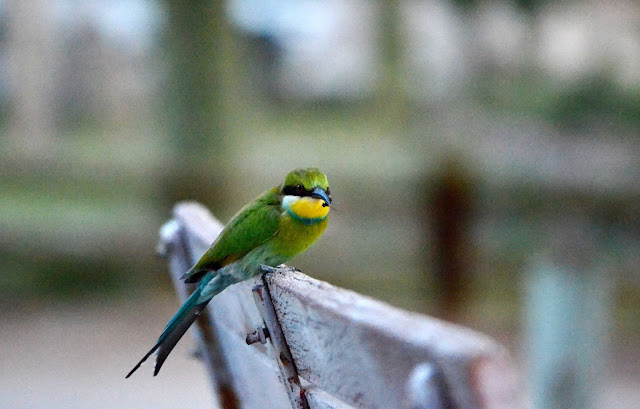 Swallow-tailed Bee-eater in Ai-Ais with a snack that it caught