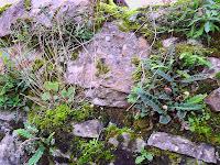 Ceterach (Asplenium ceterach)