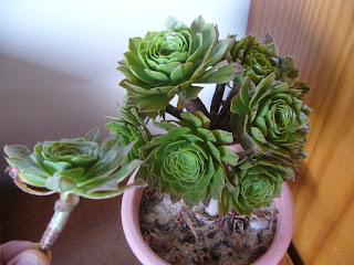 reproducción de planta crasa bejeque