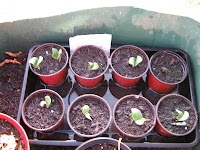 spaghetti squash (hasta la pasta) seedlings planted 10 days ago.