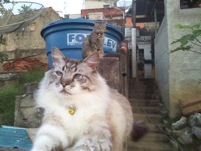 Os gatinhos da tia Gam: Gatito (branco mesclado) e a Mauau (cinza rajada)