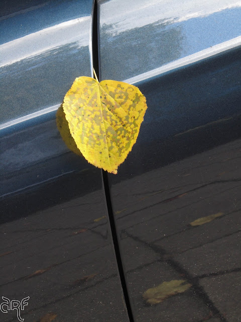 yellow leaf on blue car