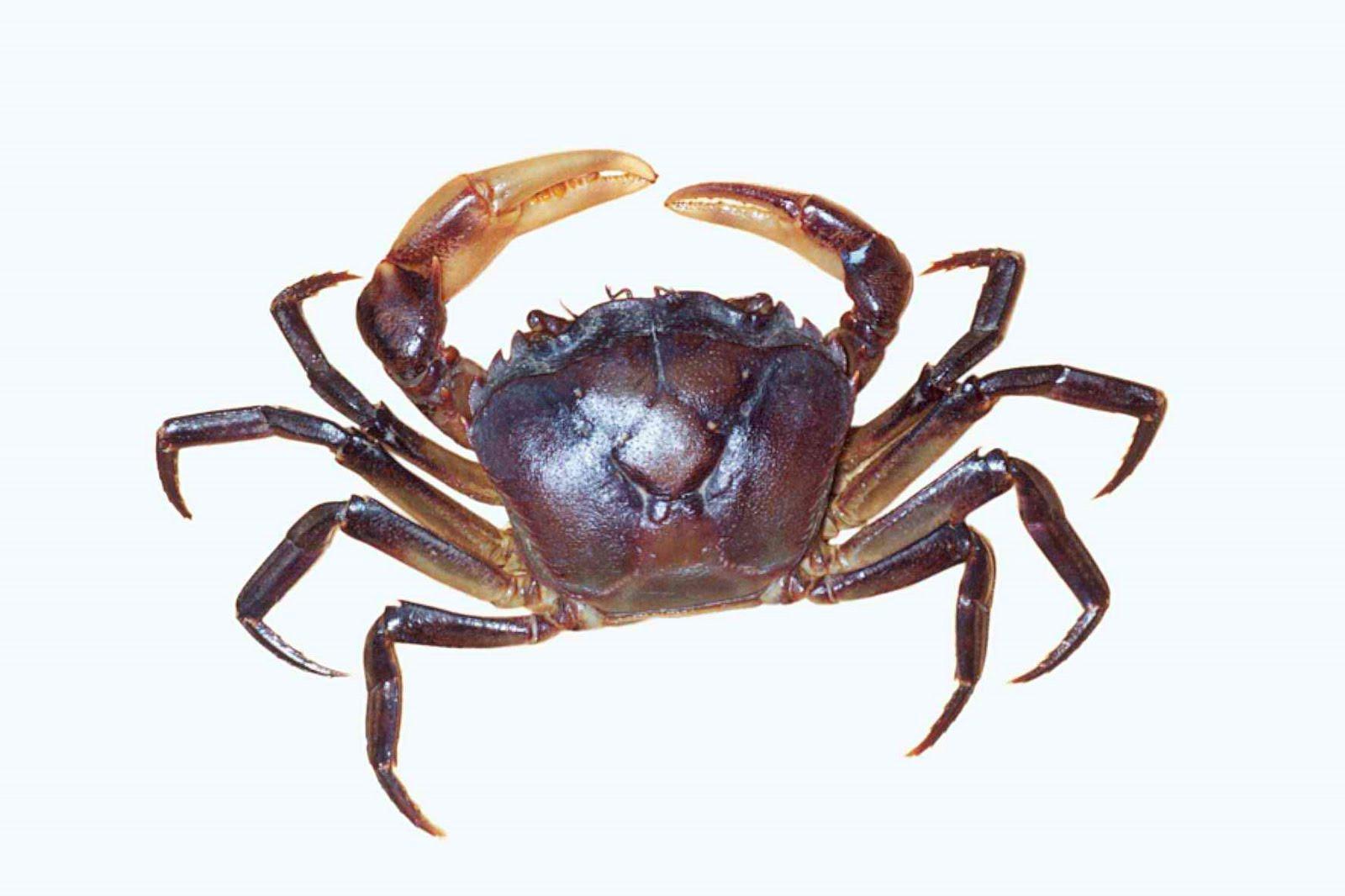 Crabs Pictures Aquatic Sea Animals cini clips