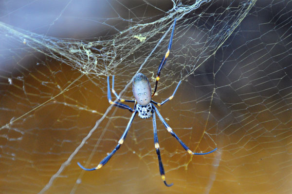 golden orb weaver spider striped yellow