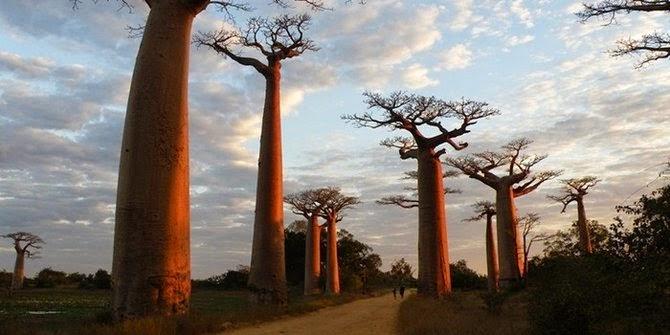 pohon terbalik boabab