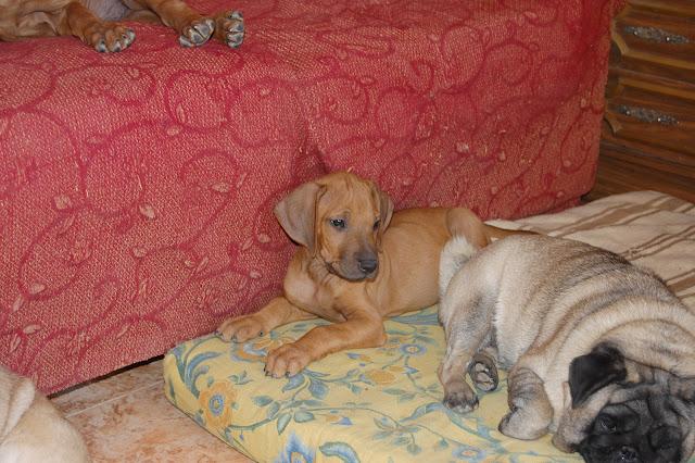 Cachorro Rhodesian Ridgeback