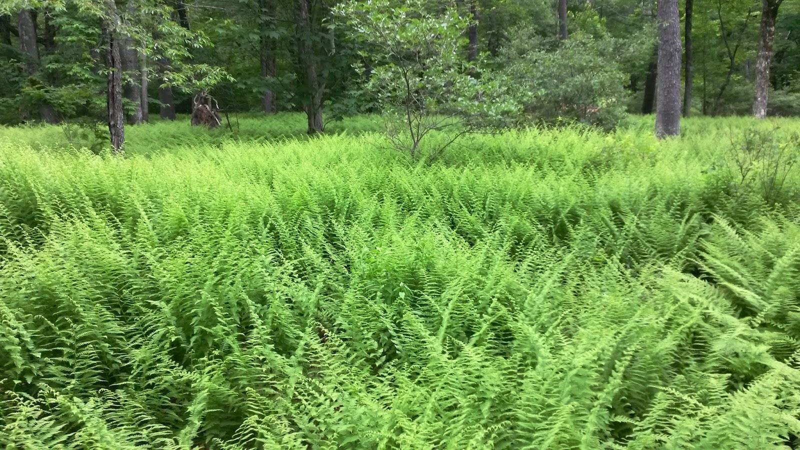 Best Plants Under A Pine Tree : Berkshire hiker laurel on mount plantain trail washington