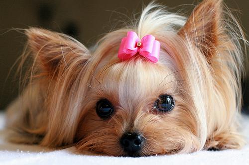 : Κουρέματα και χτενίσματα για pet yorkies