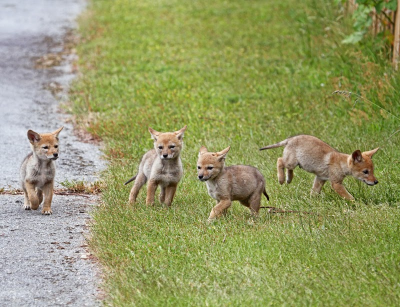 Peggy Collins Photography: Baby Coyotes