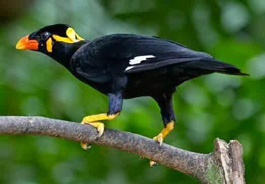 Makanan Burung beo