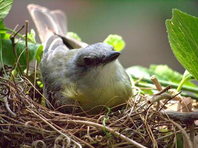 Tropcial Kingbird