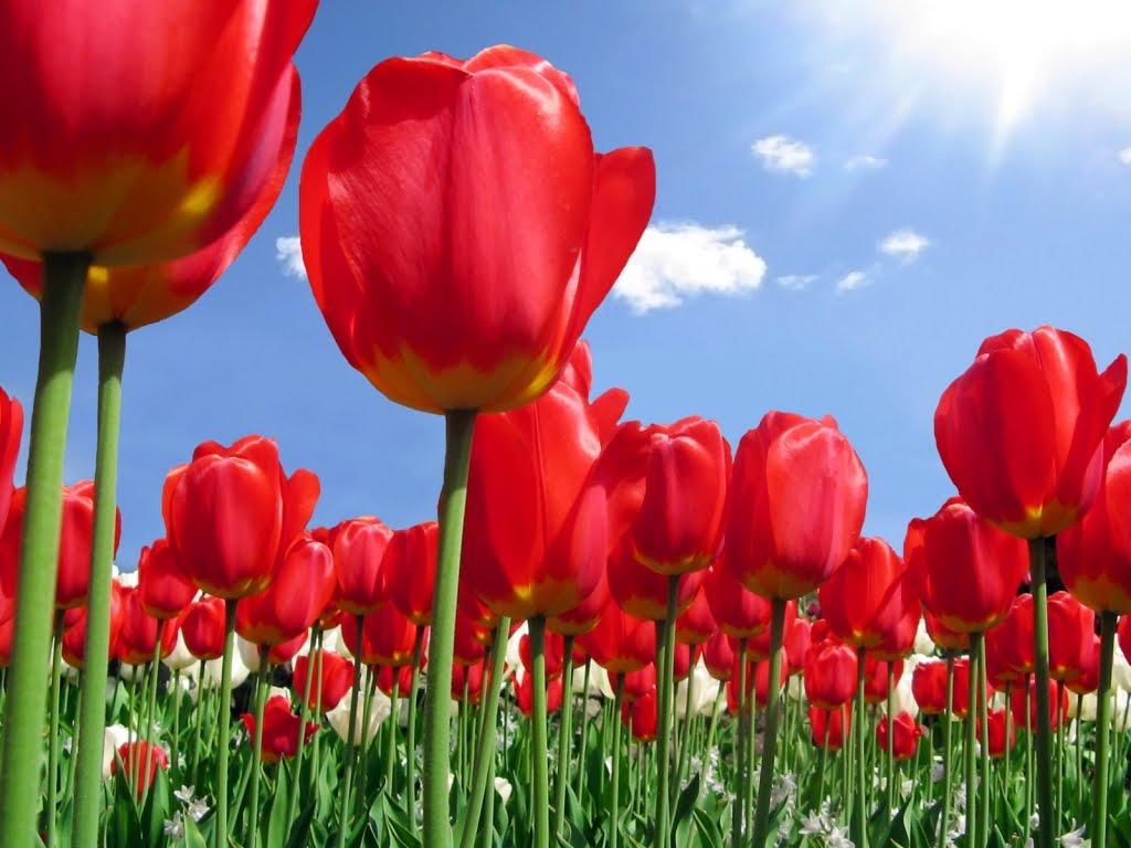http://2.bp.blogspot.com/-N5AlAtxBcKE/TXVHs5BriQI/AAAAAAAAGZw/gFV3wiPb-TY/s1600/Plantaza-crvenih-tulipana-download-besplatne-pozadine-za-desktop-slike-priroda-cvijece-biljke-cestitke-za-osmi-mart.jpg