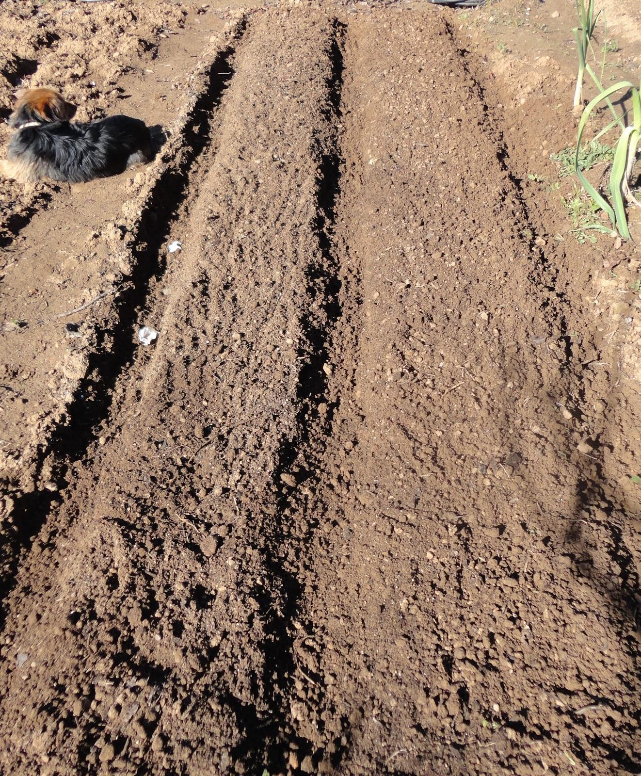 El terrao dos urbanitas en el campo siembra de ajos - Preparacion de la tierra para sembrar ...