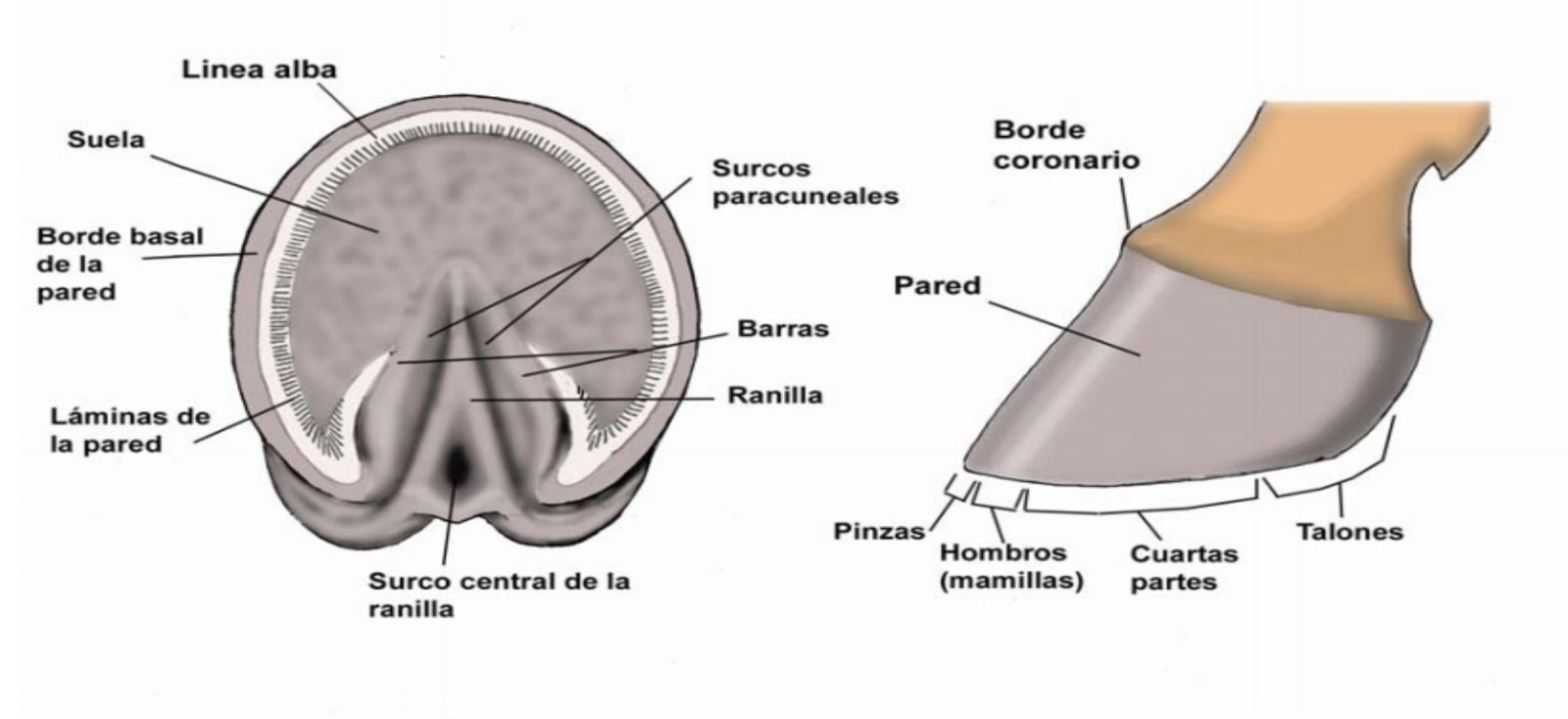 Los Caballos: Anatomía