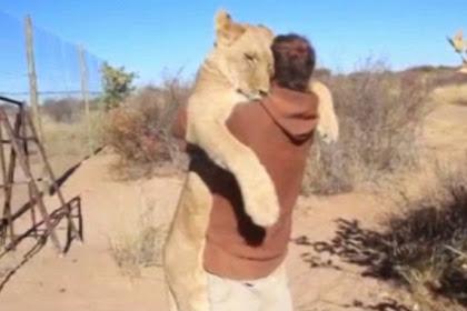 Singa Betina Sambut Pelestarinya dengan Pelukan