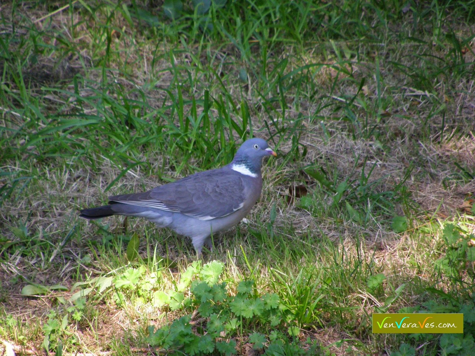 Un pombo camiñando nun parque en Lugo