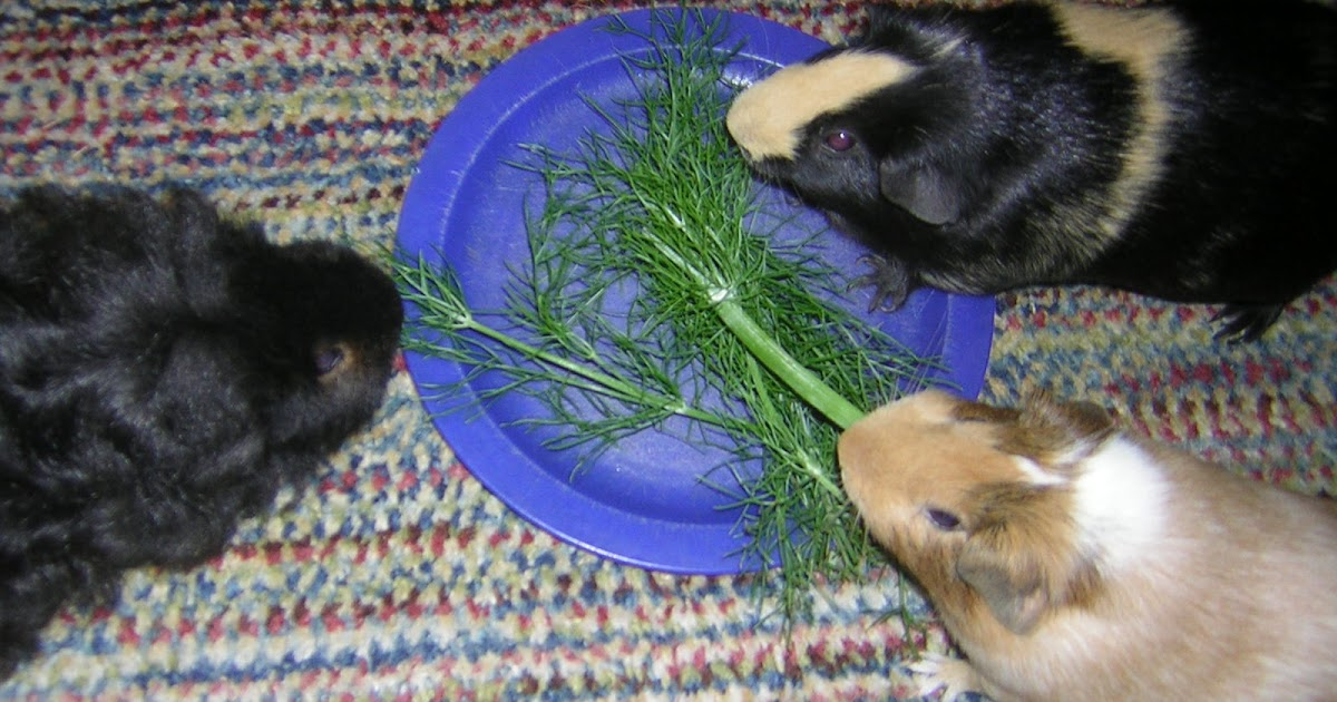 Safe Savvy Food List For Guinea Pigs