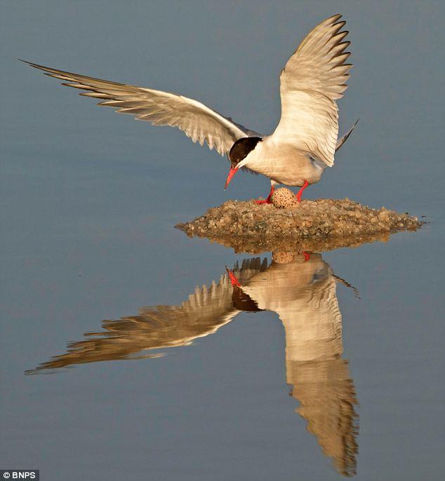 burung laut buat sarang di tengah tasik