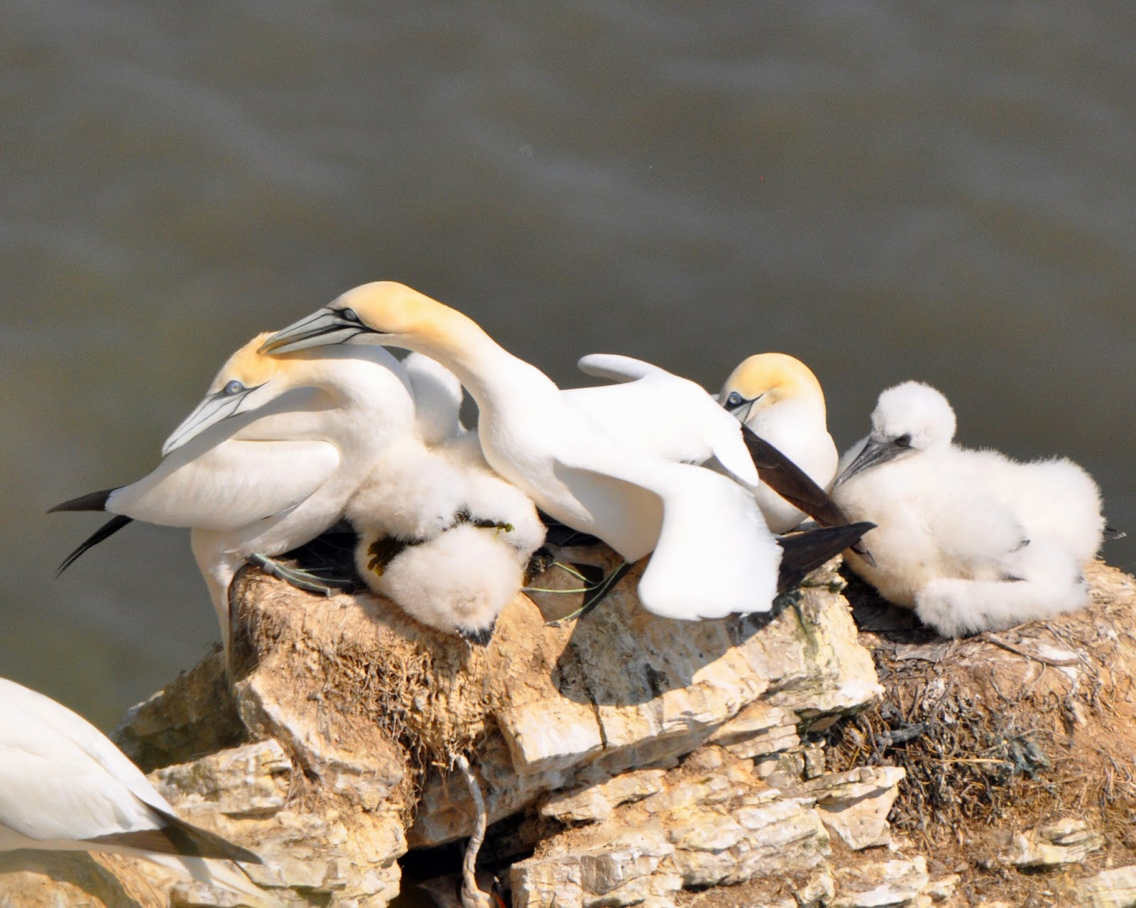 adult gannet preening mate with chick under them in nest