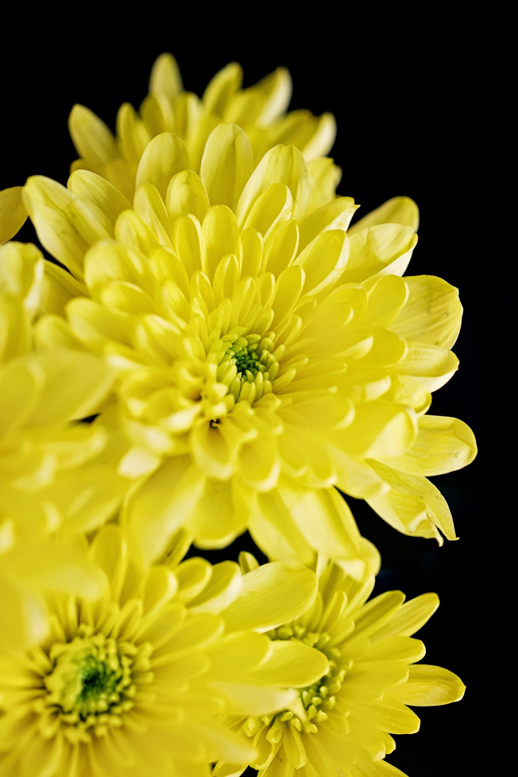 Yellow Chrysanthemum © Louise Jolley Photography