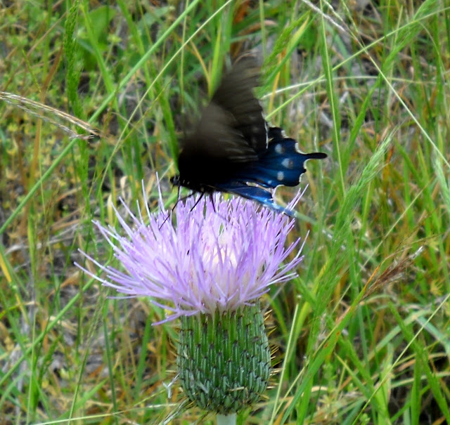A swallowtail butterfly visiting a Texas Thistle at Winfrey Point, White Rock Lake, Dallas, TX