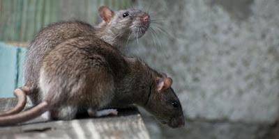 tikus leptospirosis