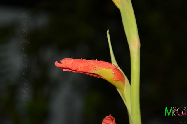 Metro Greens: Gladiolus Blooms