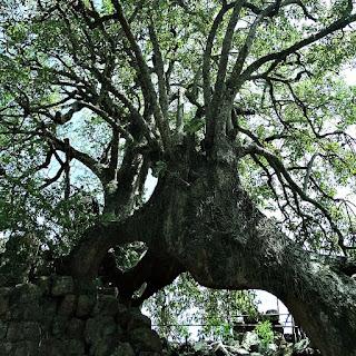 Túnel sob uma árvore de umbu, na redução jesuíta de São Lourenço Mártir.