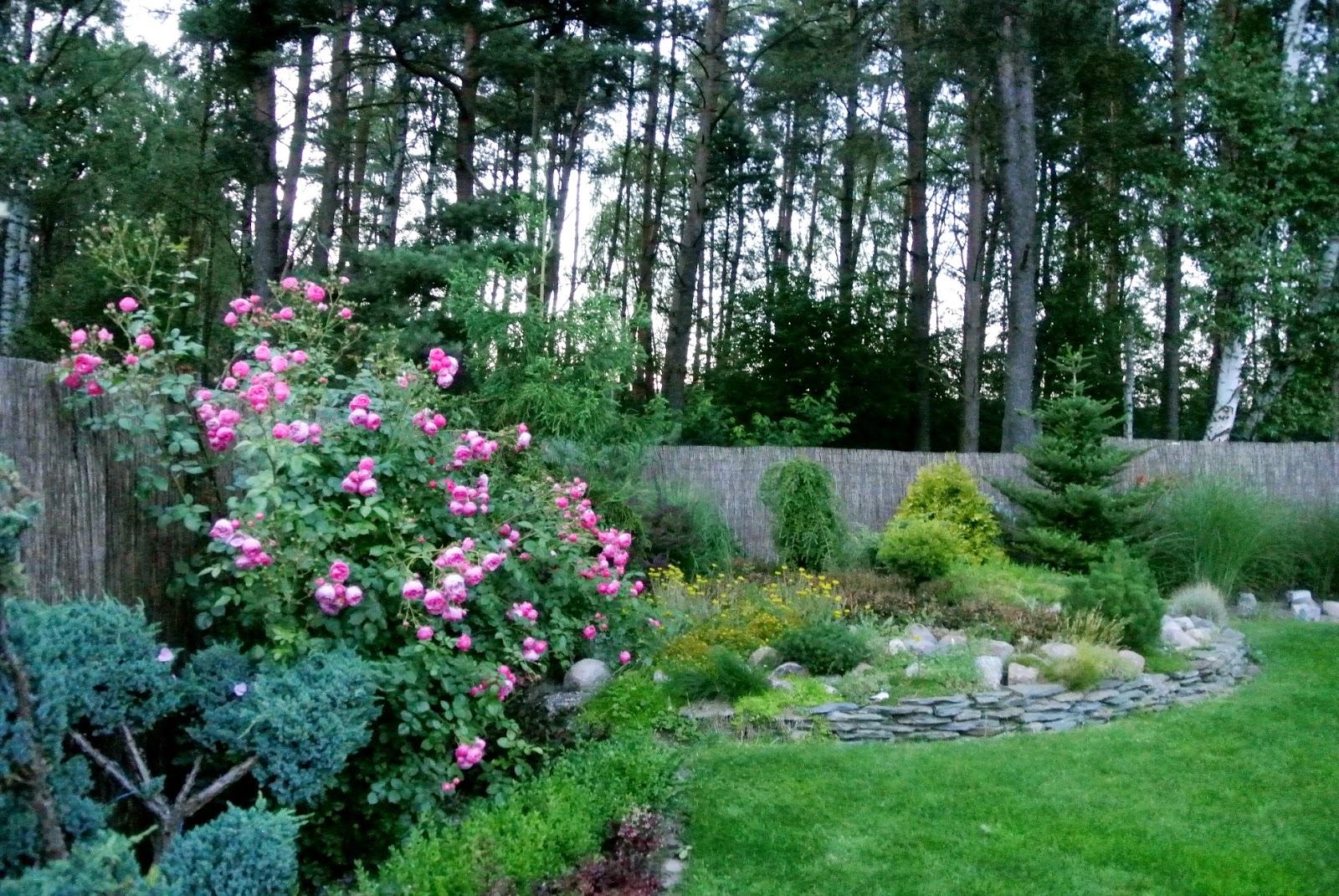róża pomponella,skalniak,jak zrobić skalniak,w narożniku ogrodu,dom przy lesie,łupek na murek,murek z łupka,rabaty,pnącza,rośliny na skalniak,pomponiki,piękna róża,róża która nie choruje