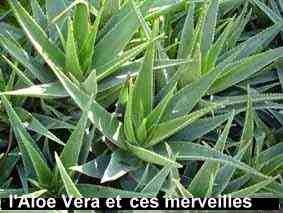 l'aloe vera peut aider pour équilibrer les niveaux de sucre dans le sang.